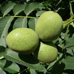 Jak vyčistit zelené skvrny od ořechů?