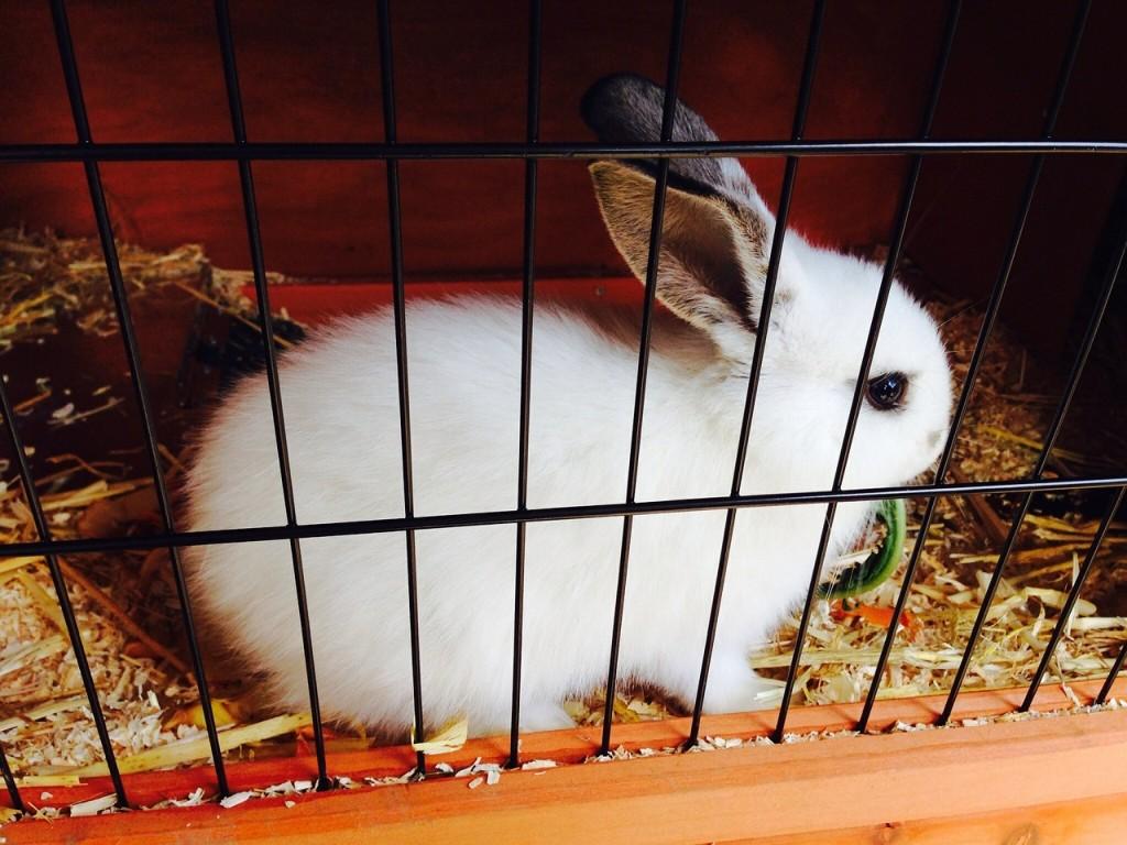 Jak vyčistit zaschlou moč z králičí toalety nebo klece pro hlodavce?