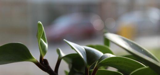 Jak odstranit prach a navrátit lesk listům rostlin a květin?
